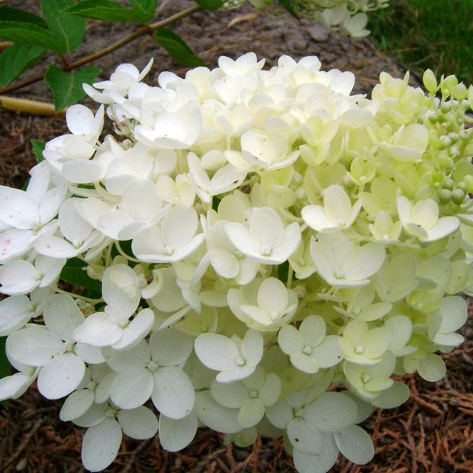 гортензия метельчатая ванилла фрейз отзывы фото